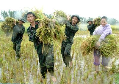 Chiến sĩ Sư đoàn 301 (Bộ Tư lệnh Thủ đô Hà Nội), giúp nhân dân xã Phú Lương, quận Hà Đông, thu hoạch lúa, khắc phục hậu quả cơn bão số 2